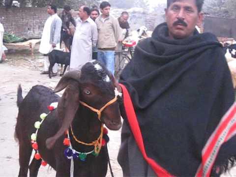 Pakistan Pictures Animals food before Eid 8 Dec 2008 Lahore Pakistan ...