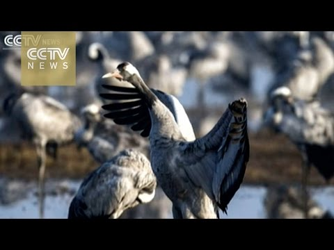 Watch cranes during annual migration in Hula Valley