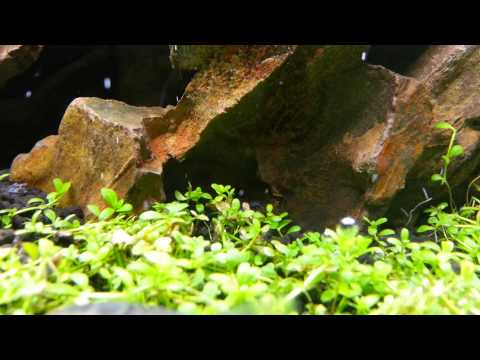 Shrimp Garden - HC perli