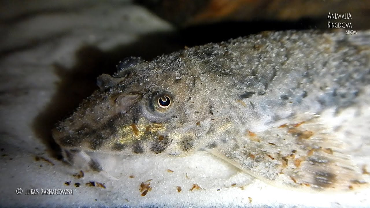 Whiptail Catfish (Rineloricaria parva) - Underwater Cam Shots ...