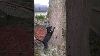 Labrador wants the squirrel bad, funny puppy.