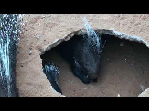 Stachelschweinbaby