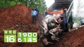 Bắc Giang bất lực, dân tự tiêu hủy lợn dịch | VTC16