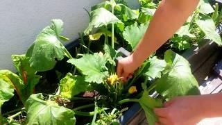 Ernte von Mangold und Zucchini auf meiner Terasse - Canans Garten