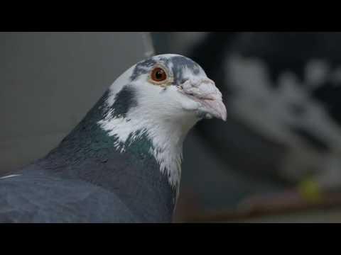 Gołębie pocztowe fabry jansen hermes prezentacia cz 4