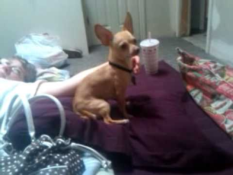 Chihuahua Makes Geico Pig Commercial Very Annoying video