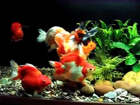 Planted fancy goldfish tank youtube for Fancy fish tanks