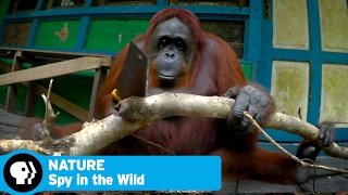 SPY IN THE WILD on NATURE | Episode 2 Preview: Intelligence | PBS