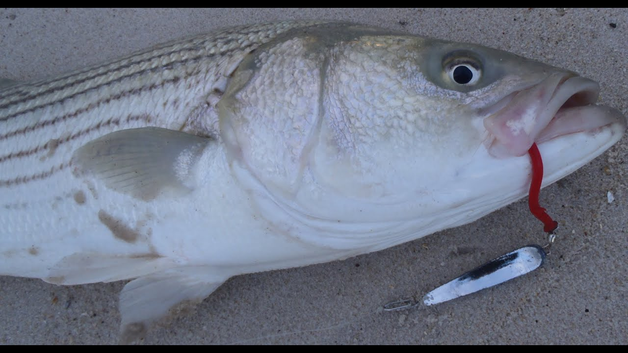 Striped bass surfcasting with tin lures youtube for Surf fishing for stripers