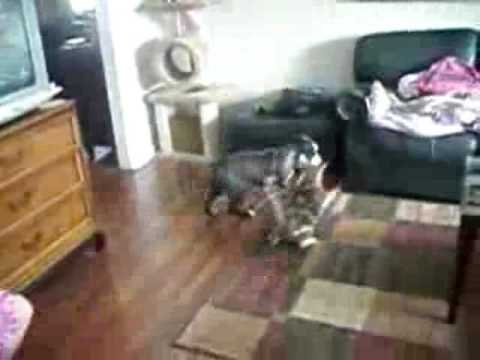 Let her go! cat protects girl from dog