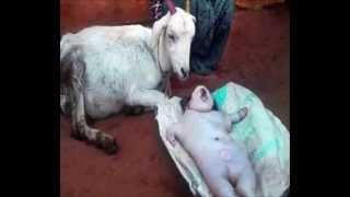 बकरी ने इंसान के बच्चे को जन्म दिया Goat gives birth to human baby, MIRACLE OR GENETIC DISORDER?