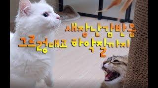 그르렁 하악질까지!! 새로운 장난감 반응이 뜨겁네요! 집사브이로그(VLOG) 귀여운고양이동영상