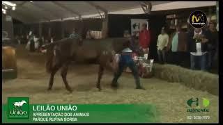 LEILÃO UNIÃO 2019 - APRESENTAÇÃO DOS ANIMAIS