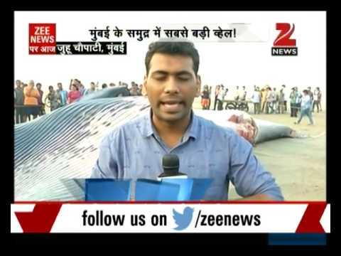 Mumbai: 35 ft long whale washed ashore at Juhu Beach