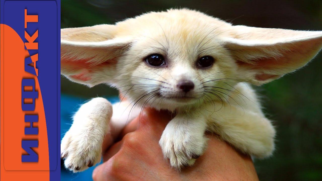 Cute fennec fox baby