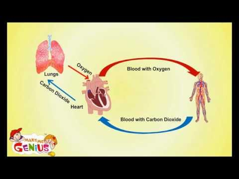 Circulatory System -Cardiovascular System- for Kids by www.makemegenius.com