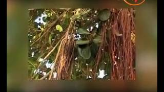 Banyan(Bargad) Tree-Remedies To Treat Infertility,Sexual Weakness,Dental Problem,Skin Care &...