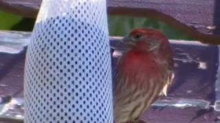 Gorrion o camachuelo mexicano = wild house finch