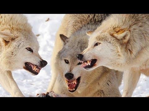 Интересные факты - волки