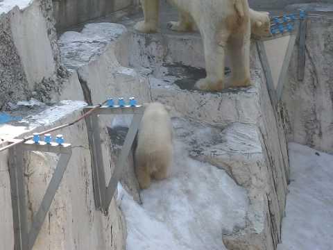 札幌市円山動物園 ホッキョクグマの双子ちゃん1