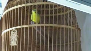 Green singer or Canario de mozambique /finch/finches/song bird