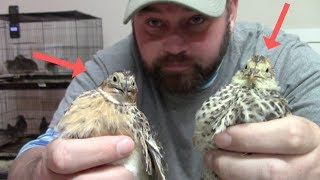 HOMESTEADING TIP: How To Sexed A Quail! FAST & EASY