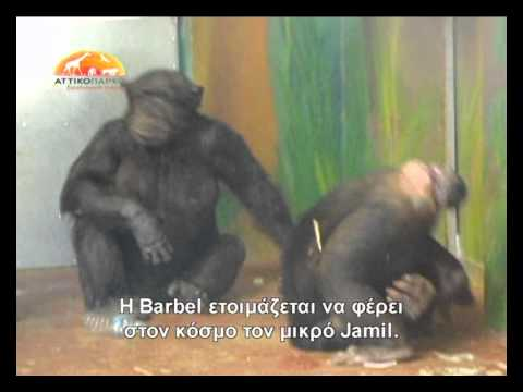 Baby Chimp's Birth At Attica Zoological Park video
