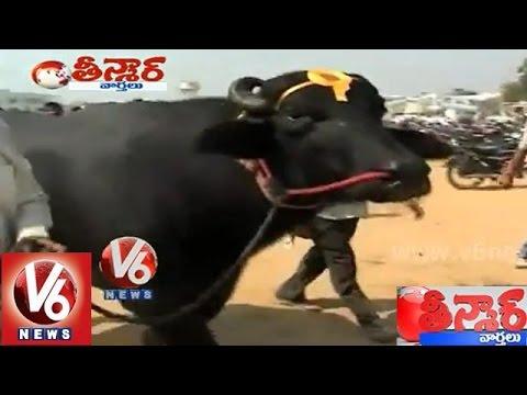 Yuvraj the 7 crore worth Murrah Buffalo - Teenmaar News