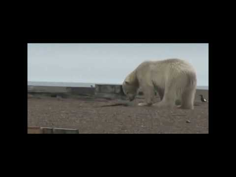 Polar bears eating Black Guillemot chicks on Cooper Island