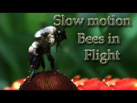Save our Bees they are so cool to watch in slow motion