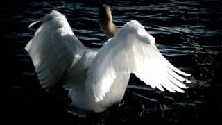 Tchaikovsky Swan Lake Swan Theme