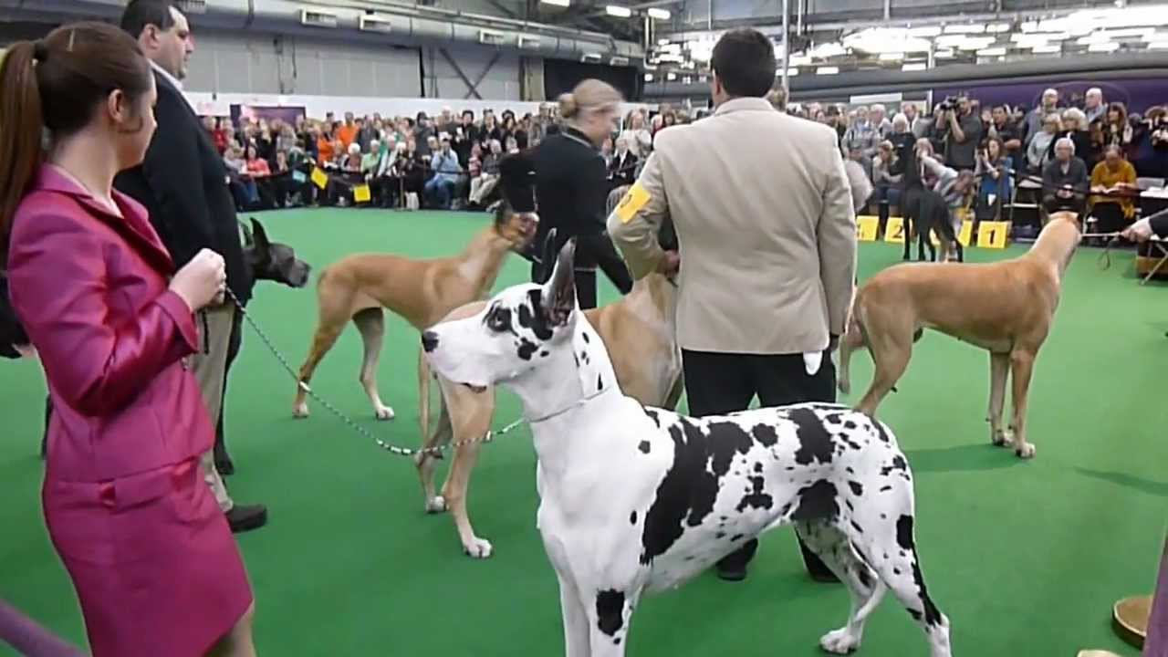 National Dog Show Breed Judging