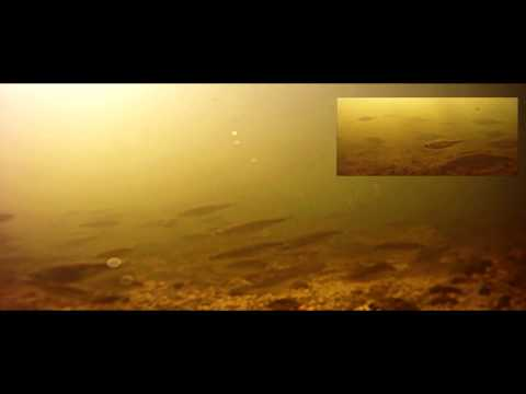 GoPro HD Underwater footage(River Thames ) Fish Feeding.