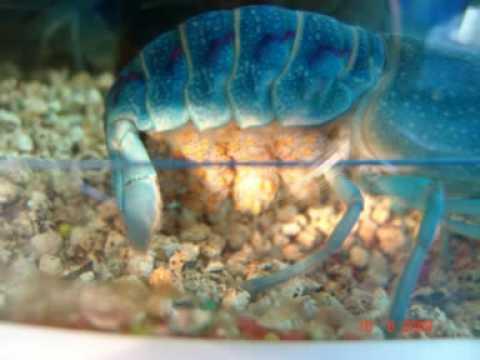 Australian Blue Lobster images