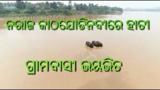 elephant in kathajodi river at naraj