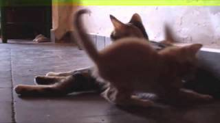 [Carl Ceder loves this kitten chasing mom's tail] Video