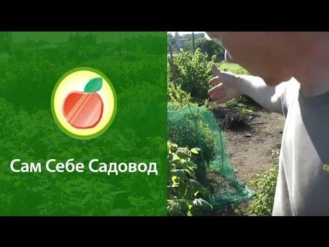 Сам себе садовод жимолость