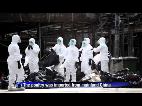 Hong Kong chicken cull begins after H7N9 found