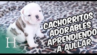 Cachorritos adorables aprendiendo a aullar