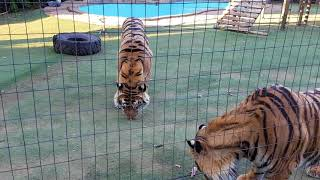 Next test then on to the tigers ! tips on the enclosure .