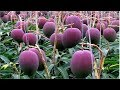 World's Most Expensive Mango   Amazing Japan Agriculture Technology Farm #18