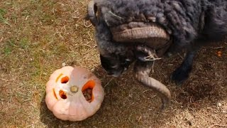 Angry Ram gets a Halloween treat...