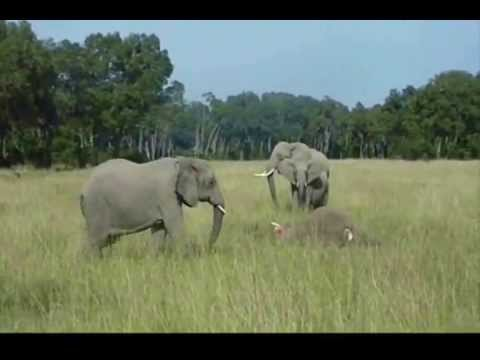Baby elephants mourning at dead mothers