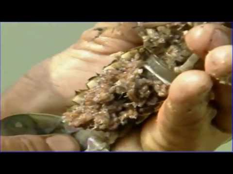 Freshwater Lobster  Introduction &amp  Farming  Part1