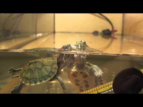 Как сделать бережок для красноухой черепахи