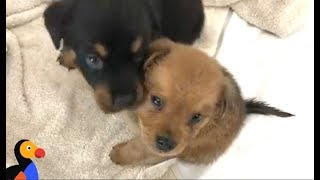 ADOPTABLE Puppies Rescued From Hurricane Irma   The Dodo LIVE