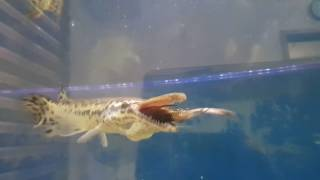 Alligator gar eating a black Moor fish .