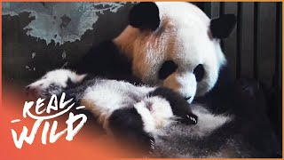 Land Of The Pandas [Panda Documentary] | Real Wild