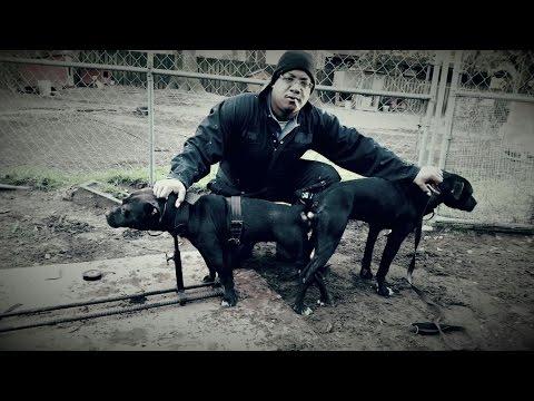 American Pitbull Terrier vs American Bully Thompson Kennels Interview