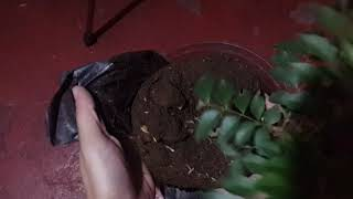 How to: Transplant Curry tree or curry leaf plant in a bigger container.